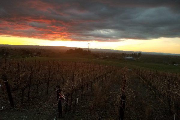 Jan. vineyard - pre pruning-min
