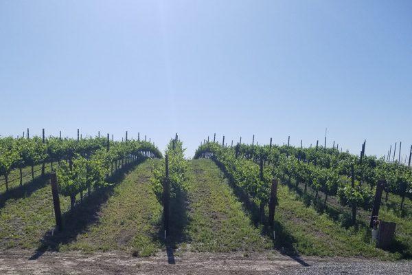 vineyard early summer (2)-min